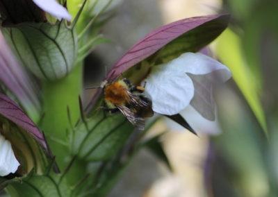 Abeille butine fleur d'acanthe