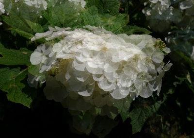 Fleurs blanches d'hortensia feuilles de chêne