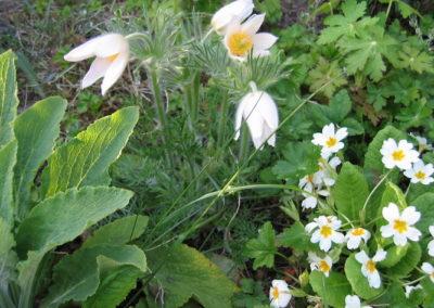 Pulsatille fleurs blanches