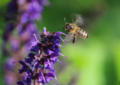 Fleurs de sauge et abeille